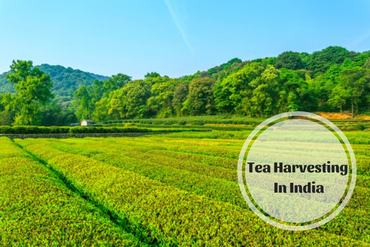 Tea Harvesting in India.